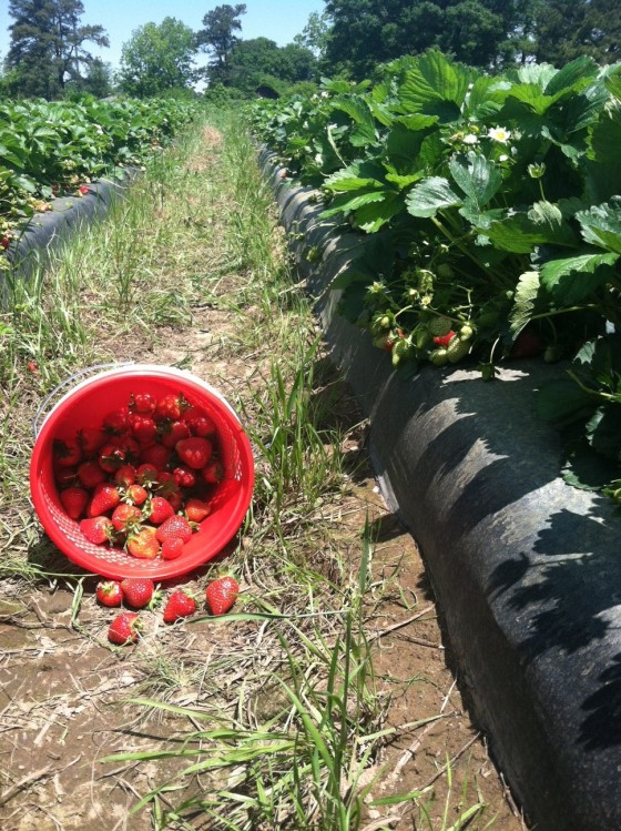 Sometimes you just have to leave your desk and go pick strawberries.